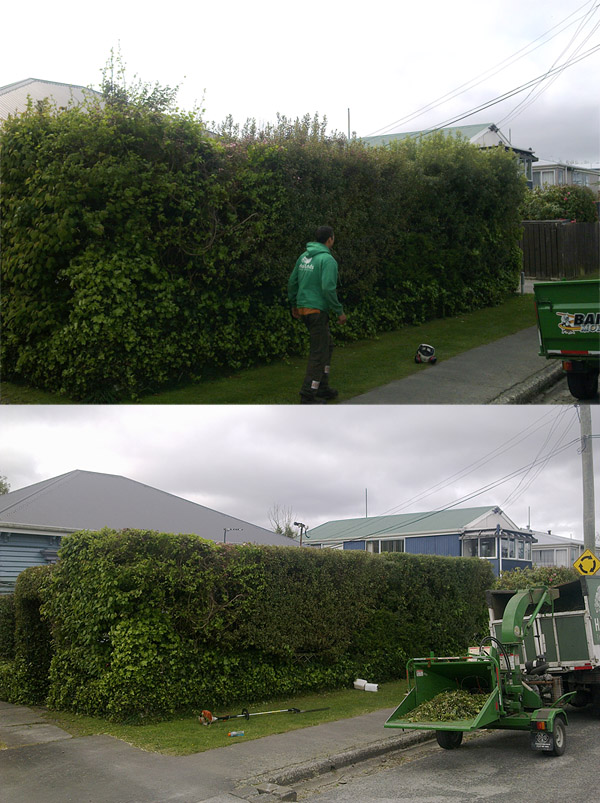 Hedge Trimming- Before & After